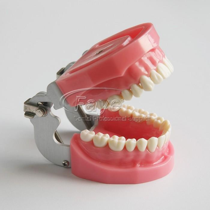 Nissin Type Dental Typodont Model